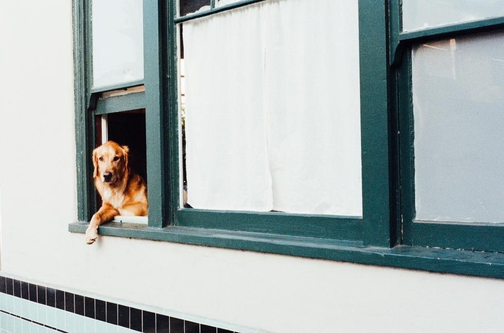 animal-dog-pet-window